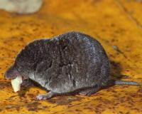 Least shrew eating some type of larval insect apparently, resting on a yellow oak leaf