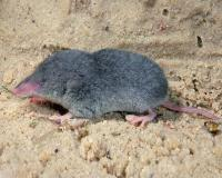 Least shrew on a wet sandy surface that resembles a shoreline