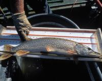 Northern pike sits on measuring board