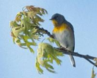 Photo of a northern parula male, seen from a long distance away