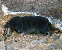Shrew eating a cricket, resting on what looks like a decaying log