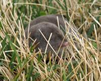 Shrew in a lawn, facing camera, poking its nose toward camera, through grass blades