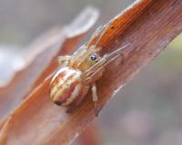 Photo of a female openfield orbweaver spider crouching on a plant stalk