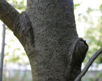 Photo of pawpaw tree bark showing warty blotches.