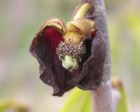 Photo of a spent pawpaw flower, with petals falling off, exposing interior of flower.
