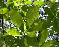 Photo of pawpaw leaves, looking up into the canopy.