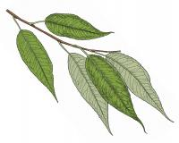 Illustration of peach-leaved willow leaves and stem.