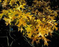 Pin oak branch with yellowish autumn leaves
