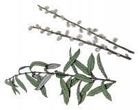 Illustration of prairie willow leaves, stems, flowers, fruits.