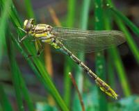 Newly emerged adult pronghorn clubtail dragonfly perched on a grass stem