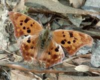 Question mark butterfly with wings spread, showing dorsal surface