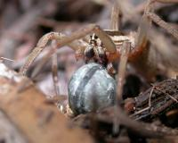 Closeup photo of female rabid wolf spider carrying egg case in her jaws
