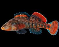 Rainbow darter male in spawning color, side view photo with black background