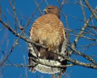 Photo of a red-shouldered hawk on a small branch, fluffing out its feathers.