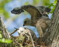 Photo of a red-shouldered hawk nest with nestlings.