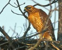 Photo of a red-shouldered hawk on its nest.