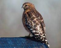 Photo of a red-shouldered hawk perched on a solar panel.