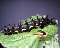 Red admiral caterpillar on a leaf