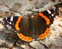 Red admiral perched with wings spread open