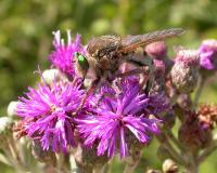 Photo of a green-eyed robber fly depositing eggs into Missouri ironweed flowers.