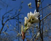 Downy serviceberry flowers on a branch tip profiled against a blue sky