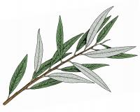 Illustration of silky willow leaves and stem.