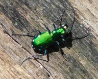 Six-spotted tiger beetle standing on a piece of wood