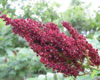 Photo of smooth sumac fruit cluster.