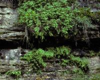 Photo of southern maidenhair fern plants growing on a bluff in Howell County
