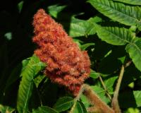 Staghorn sumac fruit clusters also showing fuzzy plant twigs