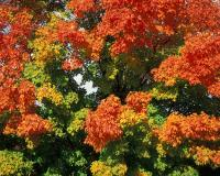Sugar maple tree in fall, showing variety of colors on same tree
