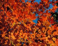 Bright red and orange sugar maple leaves backlit against blue sky