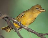 Photo of a female summer tanager perched on a small branch
