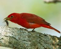 Photo of a male summer tanager eating a beetle