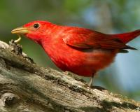 Photo of a male summer tanager eating a caterpillar