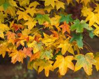 Sweet gum leaves in fall color