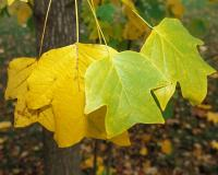 Closeup of tulip tree leaves showing yellow fall color