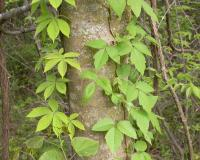 Virginia creeper and poison ivy climbing on a tree trunk.