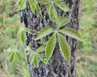Photo of Virginia creeper, new growth, on a tree trunk.