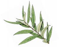 Illustration of Ward's willow twig with leaves.