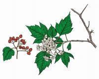 Illustration of Washington thorn leaves, flowers, fruits.