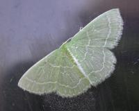 A wavy-lined emerald moth resting on a glass window