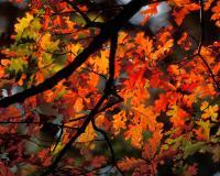 White oak branch showing brilliant reddish fall color