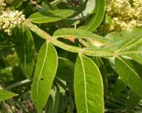 "Photo of a winged sumac compound leaf, showing namesake ""wings."""