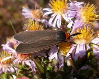 Photo of a yellow-collared scape moth collecting nectar from asters.