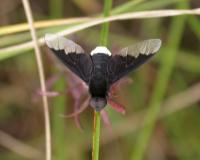 Photo of a black and white bee fly perched on a plant stalk