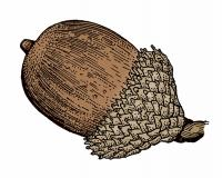 Illustration of black oak acorn.