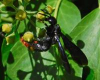 Blue-winged scoliid wasp viewed from side