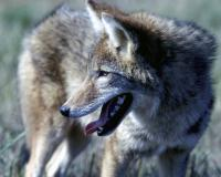 Photo of a coyote, closeup of head
