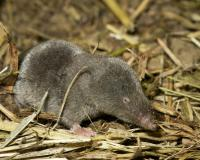 Short-tailed shrew resting on straw-covered ground, three-quarter view, head toward camera